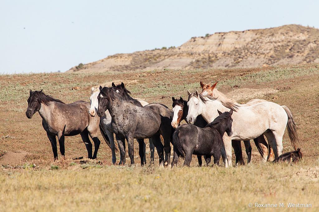 Wild horses 16 2019 - ID: 15764591 © Roxanne M. Westman