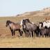 © Roxanne M. Westman PhotoID # 15764591: Wild horses 16 2019