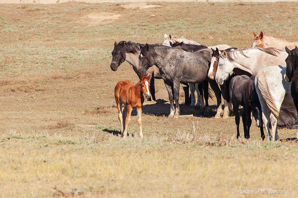 Wild Horses 17 2019 - ID: 15764592 © Roxanne M. Westman