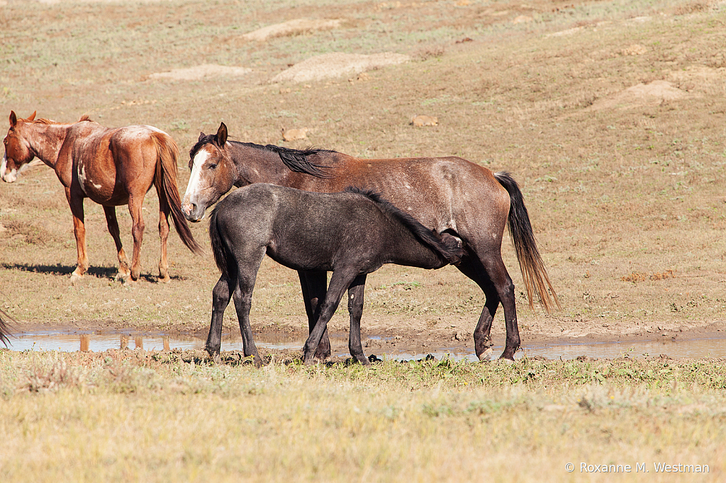 Wild Horses 18 2019 - ID: 15764593 © Roxanne M. Westman
