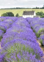 Lavender Fields, Gloucestershire