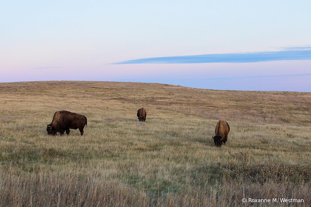 Bison on the prairie - ID: 15765552 © Roxanne M. Westman