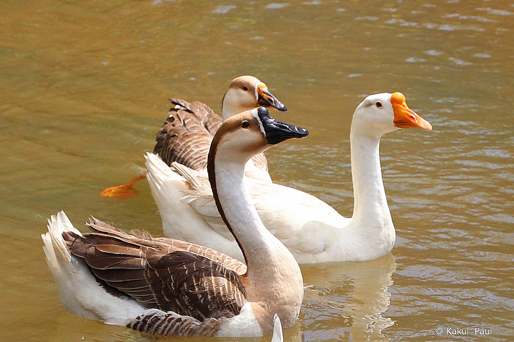 Three ducks swimming around!