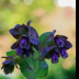 Cerinthe Major - ID: 15766150 © Melvin Ness