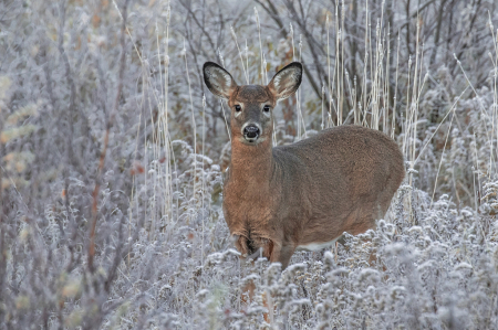 Fawn in the Frost