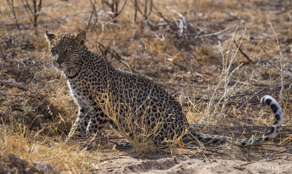YoungLeopard - ID: 15767262 © Annie Katz