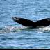 © Edward v. Skinner PhotoID# 15767554: Whale tail