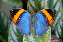 Black, Orange, Blue Butterfly