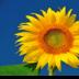 © Edward v. Skinner PhotoID# 15767644: Solo Sunflower