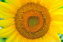 Solo Sunflower face
