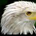 © Edward v. Skinner PhotoID# 15767661: Bald Eagle