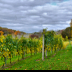 © Edward v. Skinner PhotoID# 15767667: Vineyard in Autumn