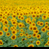 © Edward v. Skinner PhotoID# 15767674: Field of Sunflowers