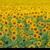 © Edward v. Skinner PhotoID# 15767674: Field of Sunflowers