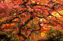 Famous Japanese Vine Maple Tree