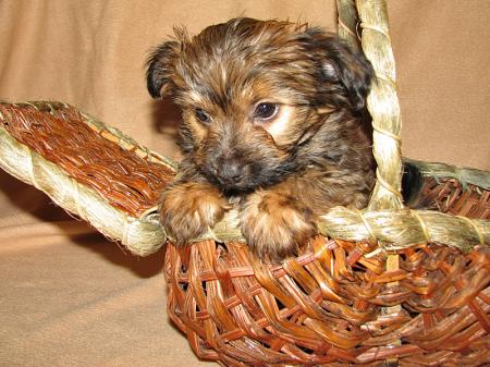 Basket of Puppy