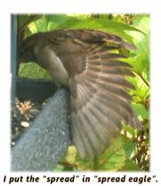 spread sparrow wing