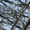 Chickadee in the ...