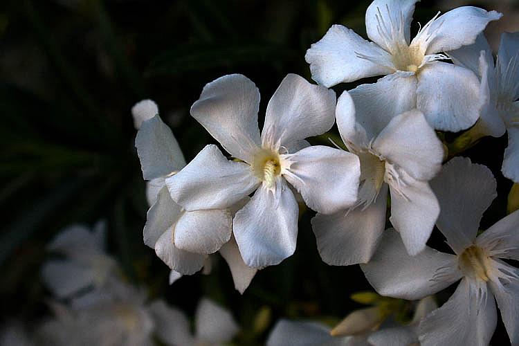 Oleanders - ID: 15770460 © Robert R. Goodman
