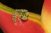 Glass frog