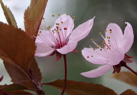 Two pink plum flowers