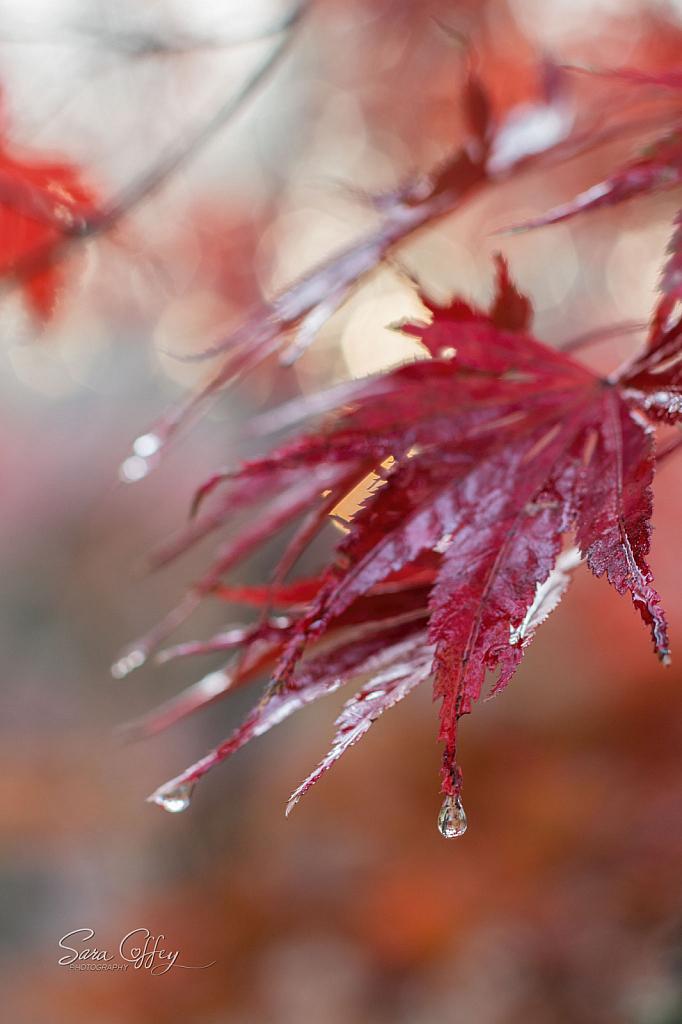 Maple Tears