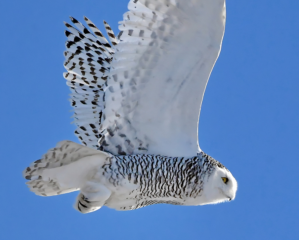 The Beauty of Snowy Owls