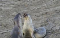 Sea Lions # 3