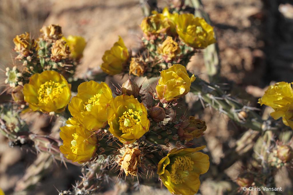 20190430_4971 Cholla flowers - ID: 15774495 © Chris Vansant
