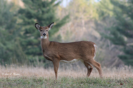 Deer #2