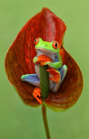 Red Eye in Leaf