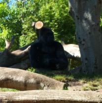 Gorilla watch