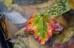 Leaf on Ice
