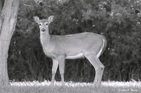 B&W Deer