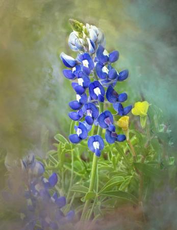 Bluebonnet Watercolors