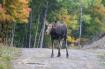 A Moose A Shaken!