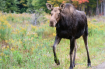 Curious Moose!