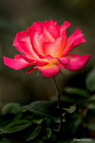 Outstanding Rose 10-12-19 338