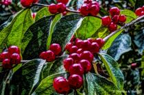 Red Berries - Green Leaves