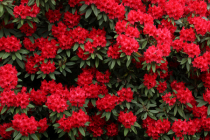 Red rhododendron shrubs