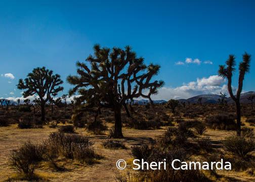 Joshua Tree - ID: 15778780 © Sheri Camarda
