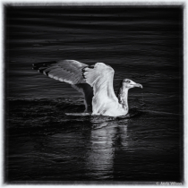 Seagull in Black and White