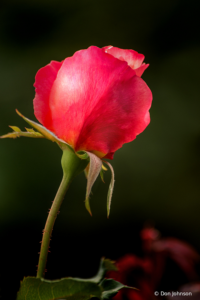 Another Stunning Rose Bud 10-12-19 328 - ID: 15779028 © Don Johnson