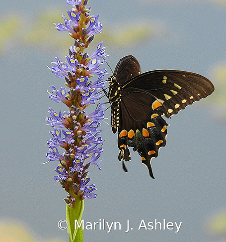 Spicebush Swallowtail Butterfly - ID: 15779693 © Marilyn J. Ashley