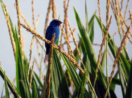 Blue On Corn