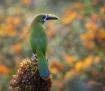 Emerald Toucanet