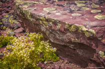 Spotted Saxifrage & Crustose Lichens