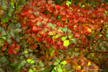 Red leaves-Green leaves