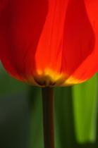 Backlit red tulip