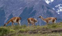 New Born Guanaco Nursing